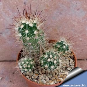 Echinocereus pacificus PP130 San Carlos Cañón, Baja California Sur, Mexico