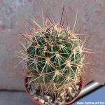 Lobivia acanthoplegma v. oligotricha