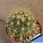 Ferocactus hybrid fordii x schwarzii