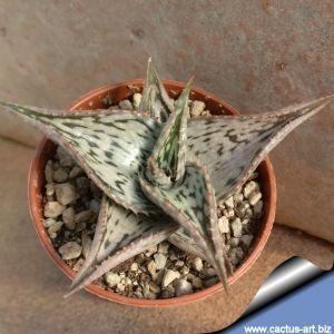 Aloe abissinica hybrid