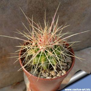 Echinocactus grusonii v. capistranoensis KPP1933, Rio Verde, Zacatecas, Mexico.