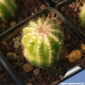 Echinopsis sp. variegata, ex thailand (OWN ROOTS, NEVER GRAFTED)