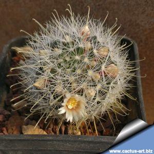 Mammillaria nana SB1443 Lourdes, San Luis Potosi, Mexico