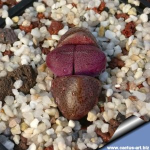 Pleiospilos nelii cv. Royal Flush