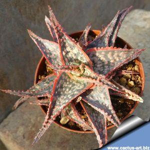 Aloe cv. BONNIEAE