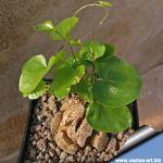 Dioscorea elephantipes (Testudinaria elephantipes)