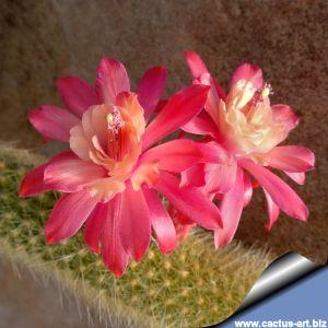 Hildewintera colademononis x Akersia roseiflora (hybrid)