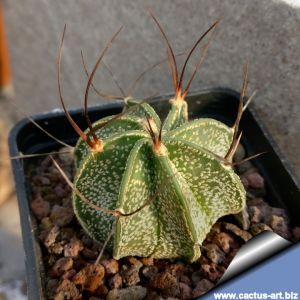 Astrophytum capricorne v. senilis PP457 El Amparo, Coahuila, Mexico