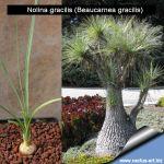Nolina gracilis (Beaucarnea gracilis)
