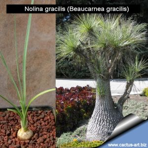 Nolina gracilis (Beaucarnea gracilis)