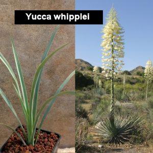 Yucca whipplei (MG2003)