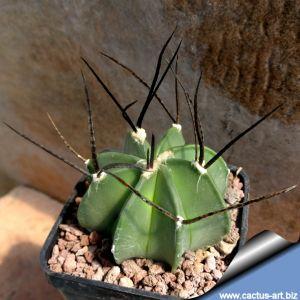 """Astrophytum capricorne v. crassispinum """"Black Spines"""""""