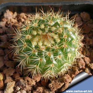 Notocactus blaauwianus