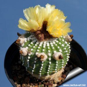 Notocactus scopa f. inermis (forma mostruosa)