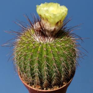 Notocactus schumannianus v. nigrispinus