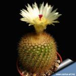 Notocactus sulphureus