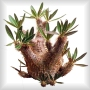 Pachypodiums