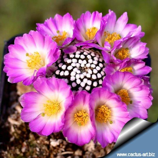 Fotografije kaktusa Mammillaria_luethyi_flowers_1