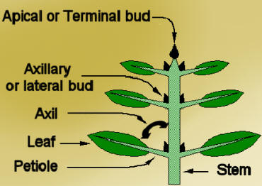 definition of plant anatomy with Dictionary Axillary Bud on Science Tree Trunk in addition Termfl3 together with Index php also Cell Cycle With Cyclins And Checkpoints moreover 1251.