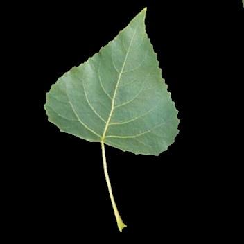 Leaf shape