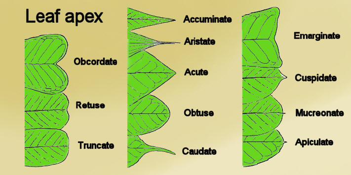 Whatt is the apex of a leaf Science Nutrition in Plants ...