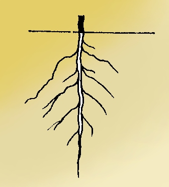 a definition of root systems in botany The root of the root problem  one particularly muddy area concerns the kinds of root systems  a taproot by definition is a single dominant root, as .