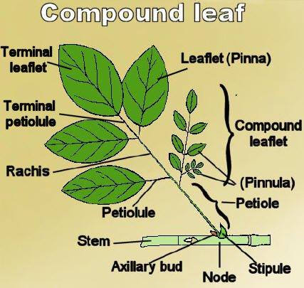 Double Compound Leaf Compound Leaf