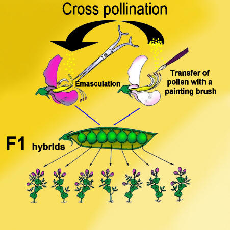 the process of cross pollination in Corn resistant to glyphosate likely cross-pollinated with ge corn or came from contaminated seed overall cross-pollination was if most pollen dehiscence occurs in the first three days of the pollination process (purseglove, 1972), cross- pollination between the ge source and the field 100 m s should have been very low.