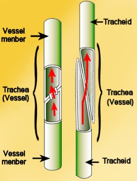 Cells of the xylem involved with water conduction. May be tracheids or ... Xylem And Phloem In Plants