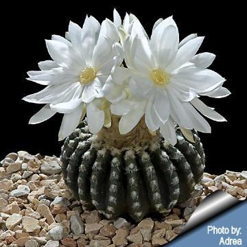 Cephalium discocactus hortii the white flowers flower buds will form from the cephaliu mightylinksfo