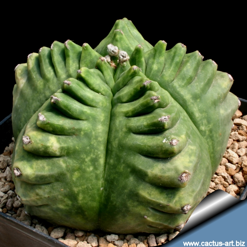 astrophytum myriostigma cv  kikko nudum  syn  kikk u00f4