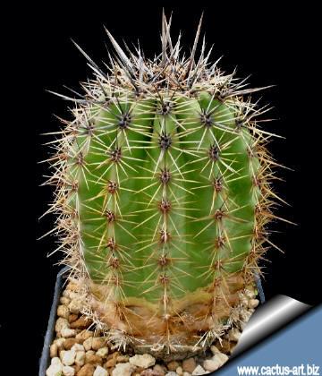 Saguaro Cactus.jpg