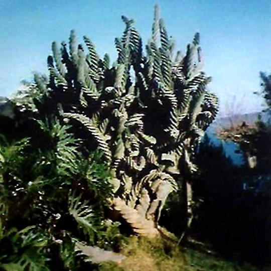 Cereus hildmanianus v spiralis Cereus_peruvianus_spiralis_wild_540