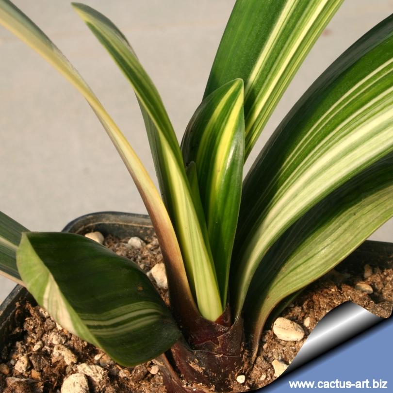 clivia miniata  u0026quot chinese five colours orchid u0026quot