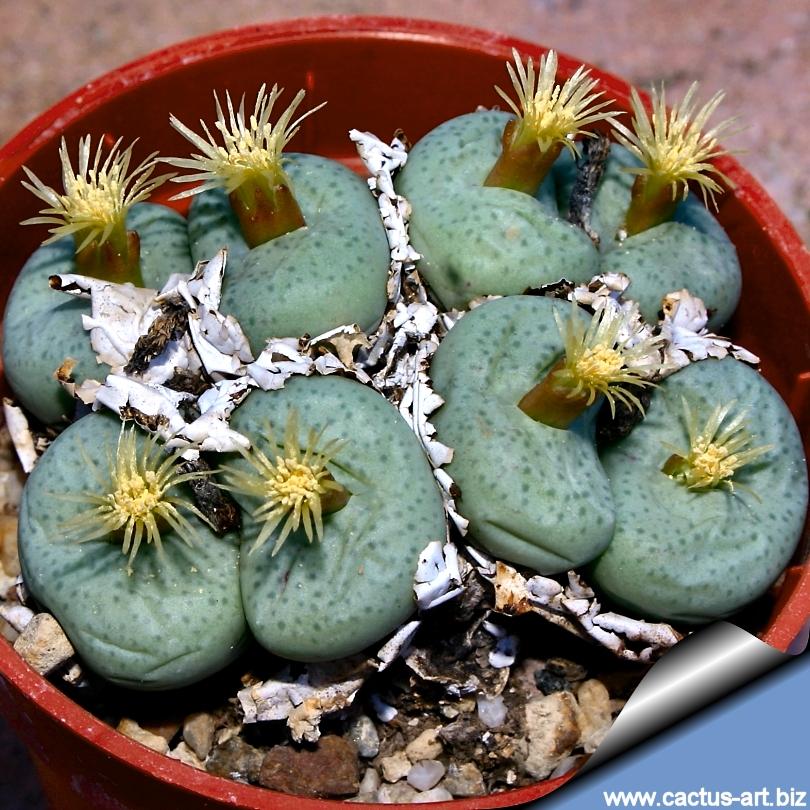 Conophytum_truncatum_05_810 Cactus Plants Inside Home on inside desert plants, inside bonsai plants, inside flowers plants, inside rose plants, inside trees plants, inside bamboo plants, inside fern plants, inside flowering plants,