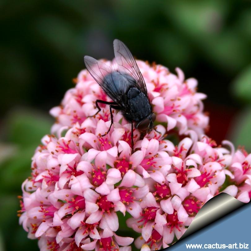 Crassula Cv Springtime