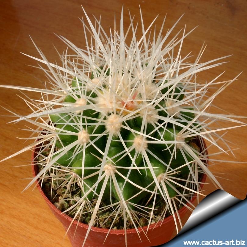 Echinocactus Grusonii Var Albispinus