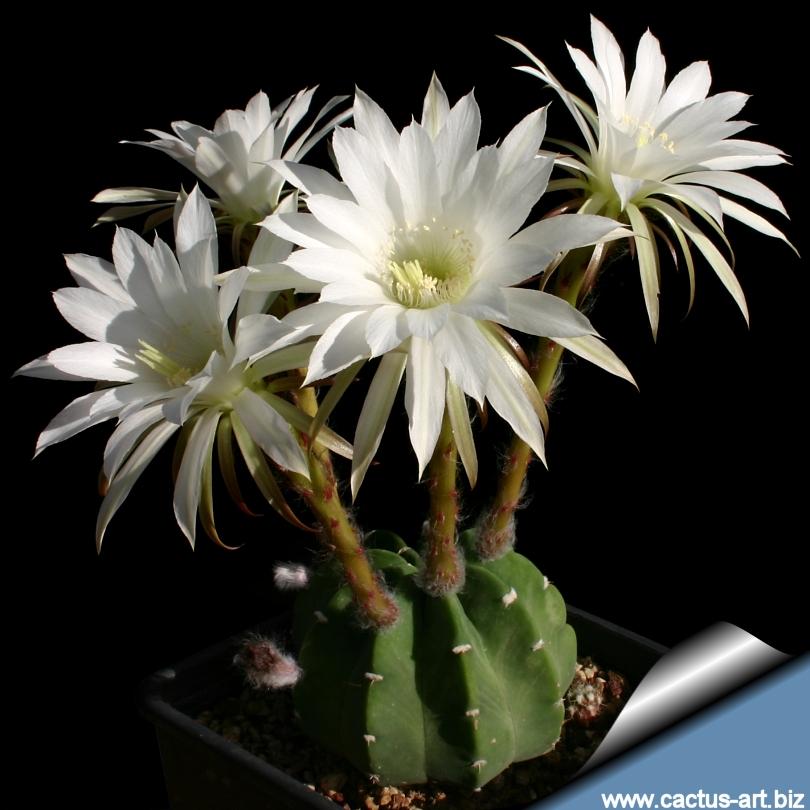 Echinopsis subdenudata e subdenudatus mightylinksfo