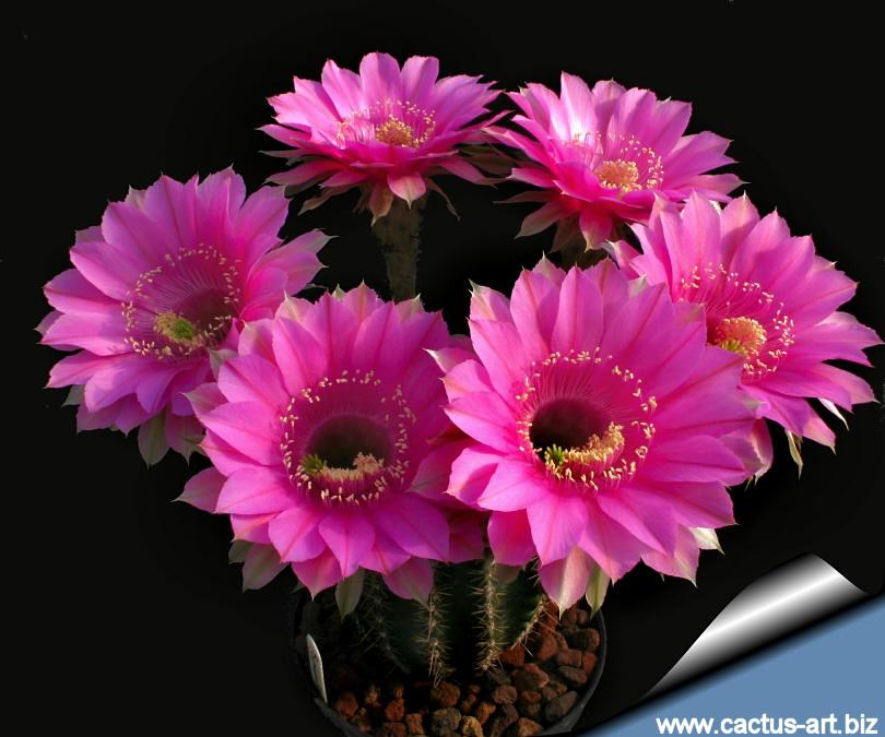 echinopsis hybrid cv  syncopation