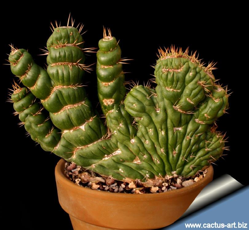 Fan Like Cactus Characterized by Fan-like