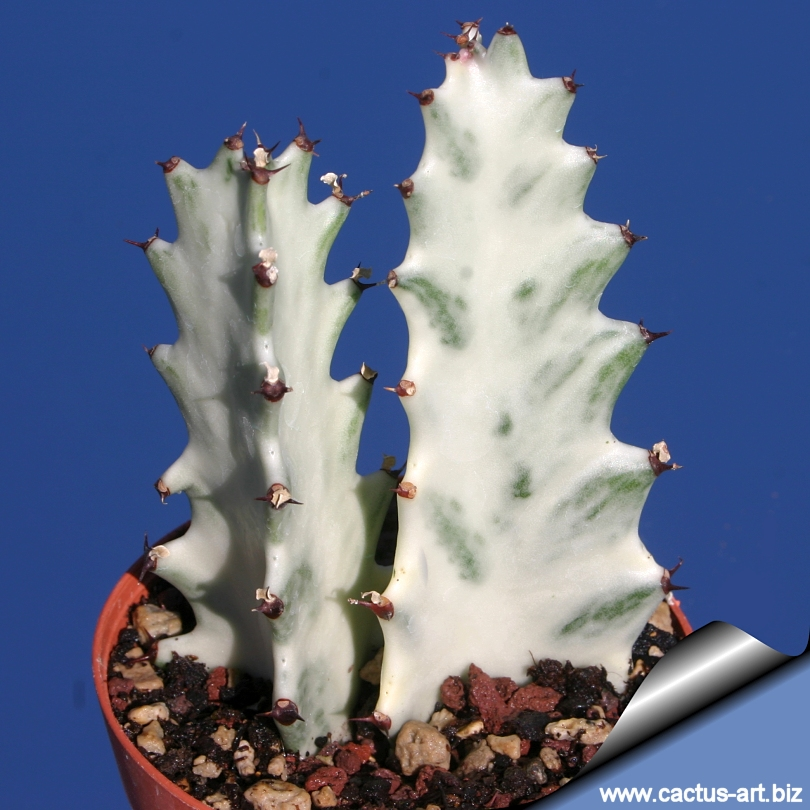 "Fabuleux Euphorbia lactea cv. White Ghost"" XX16"