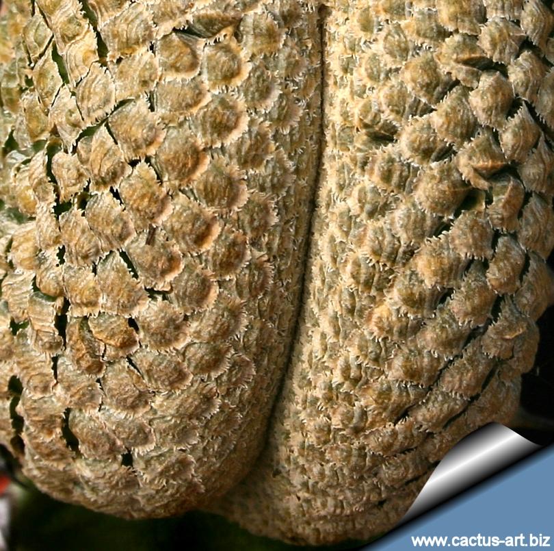 Euphorbia piscidermis forma cristata