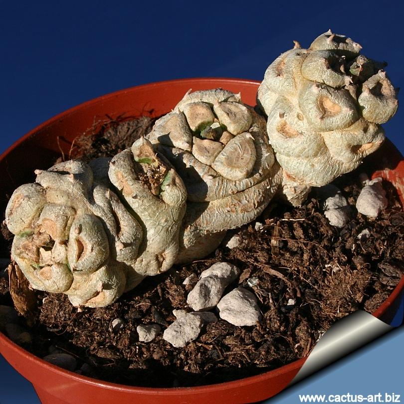 http://www.cactus-art.biz/schede/EUPHORBIA/Euphorbia_poissonii/Euphorbia_poissonii/Euphorbia_poissonii_young_810.jpg