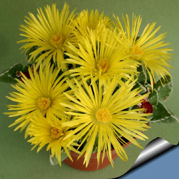 http://www.cactus-art.biz/schede/FAUCARIA/Faucaria_tuberculosa/Faucaria_tuberculosa/Ftuberculosa_360.jpg