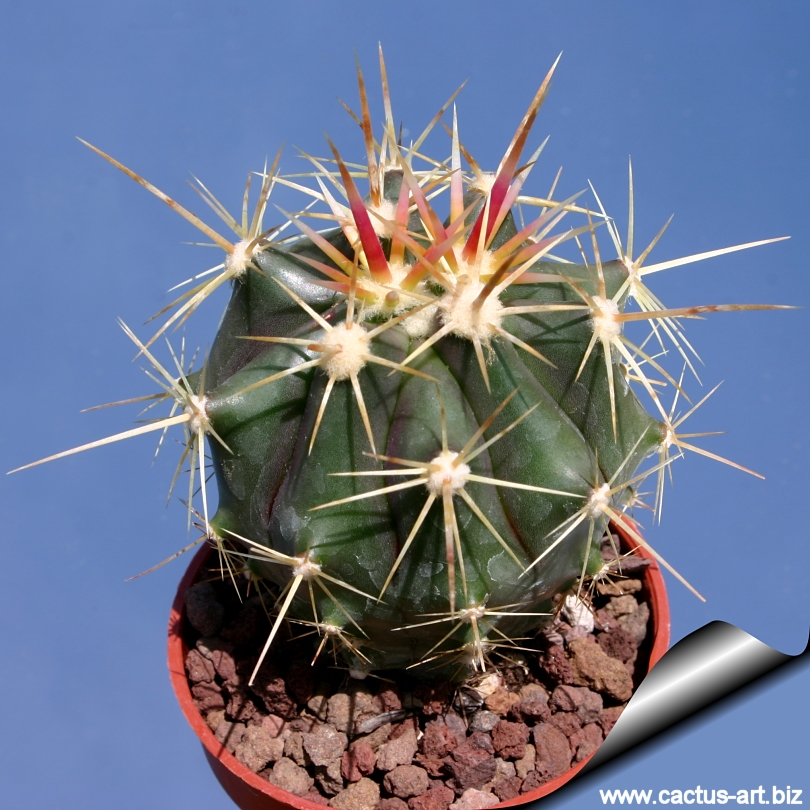 Ferocactus gracilis ssp gatesii for Feroxcactus chile