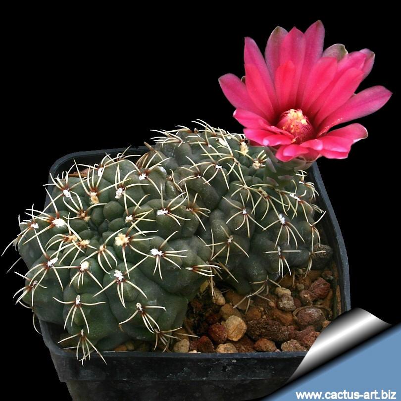 Semis de Gymnocalycium (cactus) Baldianum_810