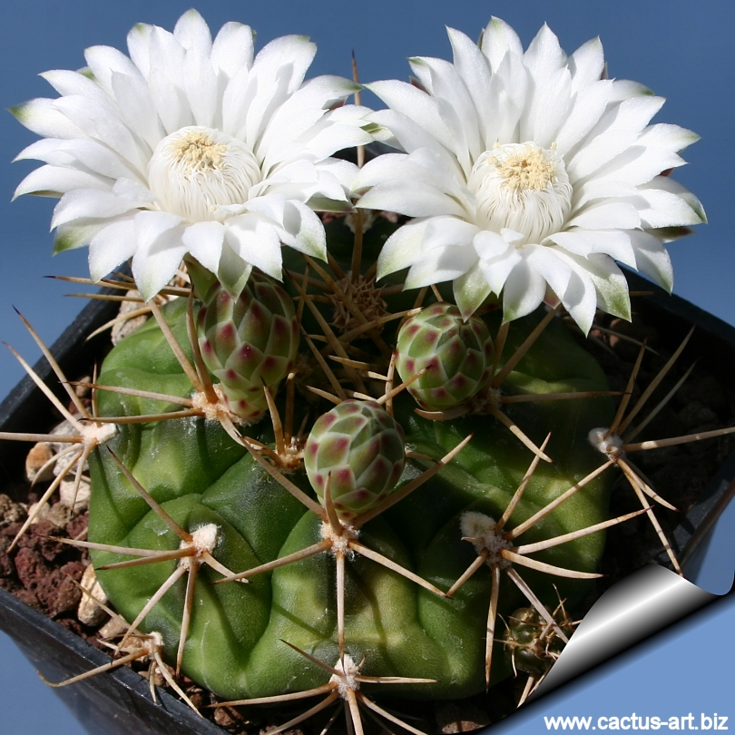 Gymnocalycium eurypleurum produces large white flowers with with a hint of lilac from mid spring to early summer mightylinksfo