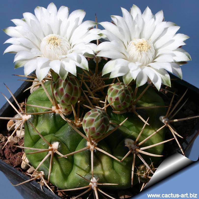 Semis de Gymnocalycium (cactus) - Page 3 Gymnocalycium_eurypleurum_03_810
