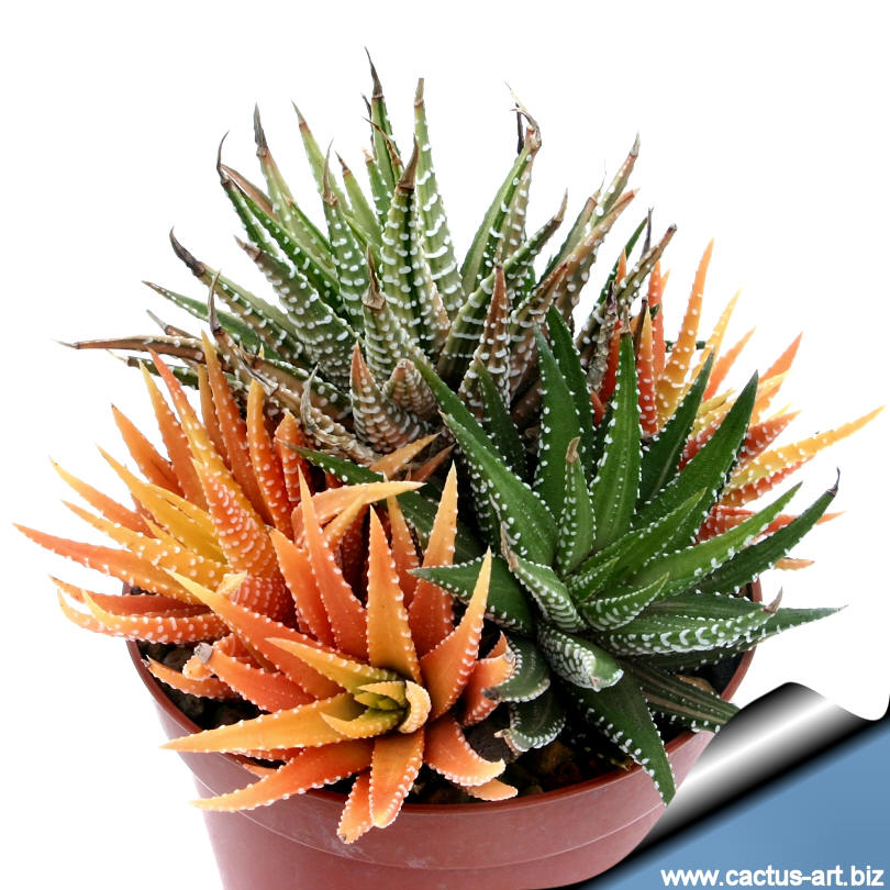 Haworthia_attenuata_variegata on Schede Colours