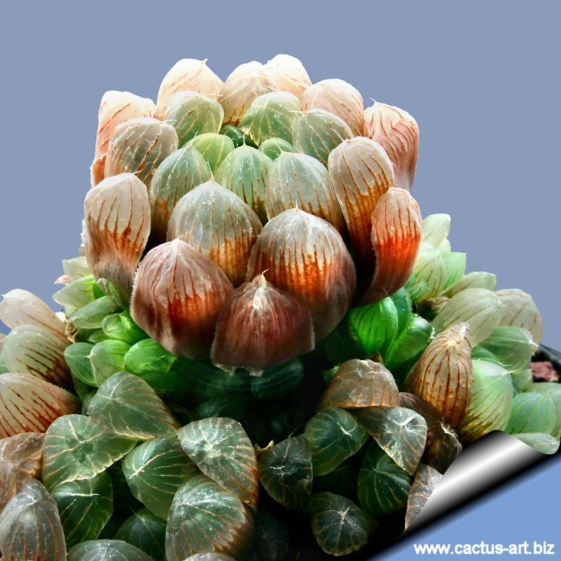 http://www.cactus-art.biz/schede/HAWORTHIA/Haworthia_cooperi/Haworthia_cooperi_obtusa/Haworthia_cooperi_obtusa_02_810.jpg